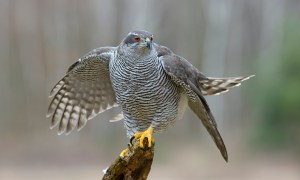 'Murderous, difficult to tame, sulky, fractious and foreign' … a northern goshawk.