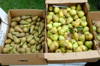 219-cannonhallguidebook_2615-pear-day