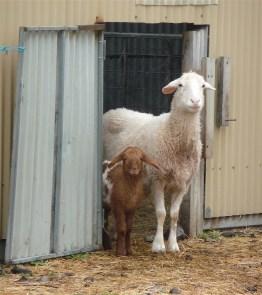 9.sheep
