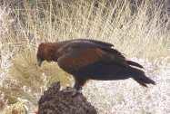 5-wedge-tailed-eagle