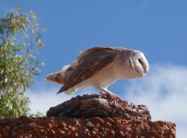 9-barn-owl