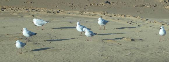 20-gulls