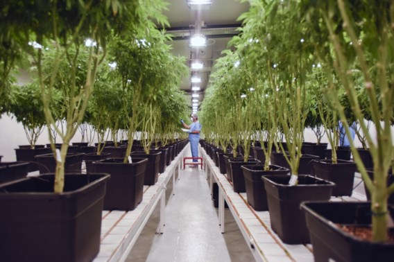 Cannabis Agency Adopted Almost Unanimously in Parliamentary Committee
