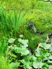 summer swamp
