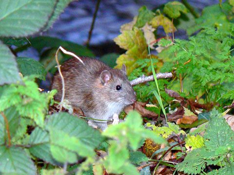 Weil's disease: Image shows brown rat on river bank, with river behind.