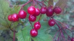 High Bush Cranberries in Maine