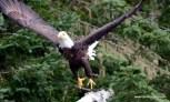 Bald Eagle in Flight Allagash