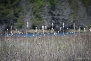 Maine-Canoe-Trips-St-Croix-River-Cattails