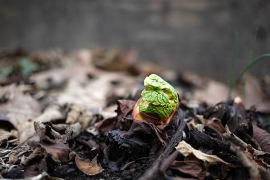 ルバーブの新芽