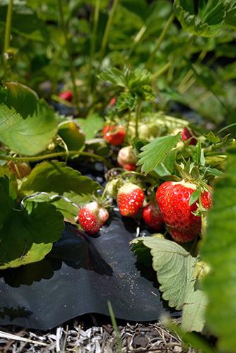 save_strawberries7