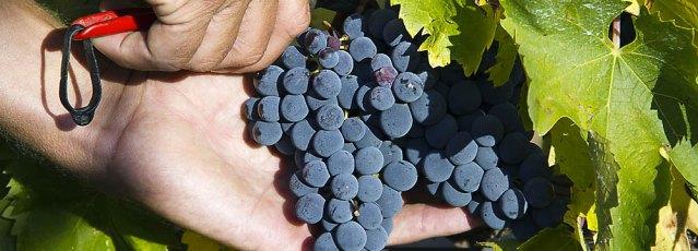Raccolta manuale delle uve