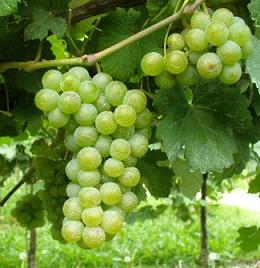 Grappoli di uve Melara