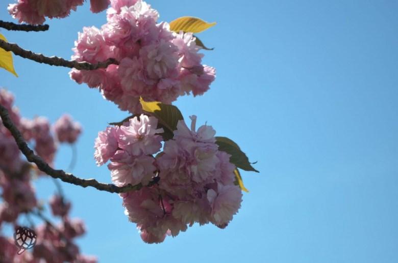 brooklyn botanic garden cerejeiras detalhe2