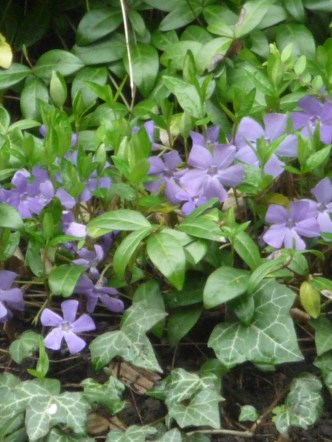 Next, Periwinkle, hiding amid the Ivy.