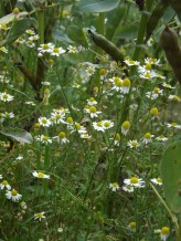 The Mayweed seems to float; their stems so fragile as to be incapable of holding up the blossoms.