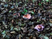 Mushrooms blend with dead leaves close to mid-winter.