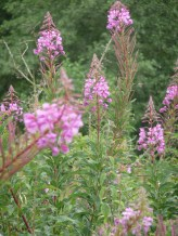 Flowering between July and September, the colour of Rosebay Willowherb warms me to my core. Every year, it delights and amazes me.