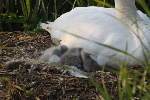 Swanlets