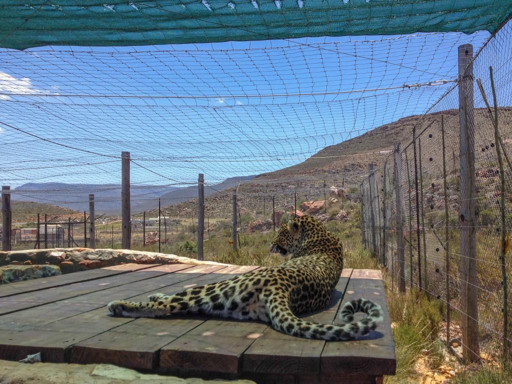 Aquila Safari - Rescue Leopard