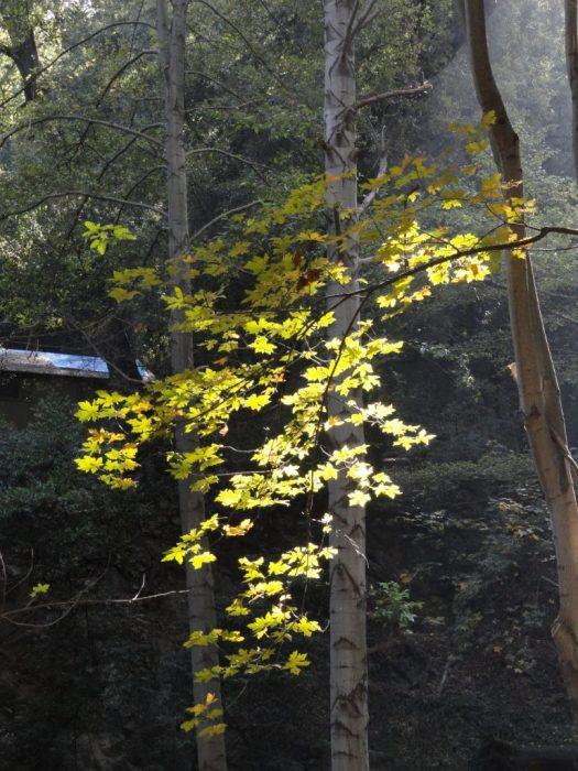 48a4f2f0b007 Big Leaf Canyon maple is backlit in the Winter Creek. Big Santa Anita Canyon .