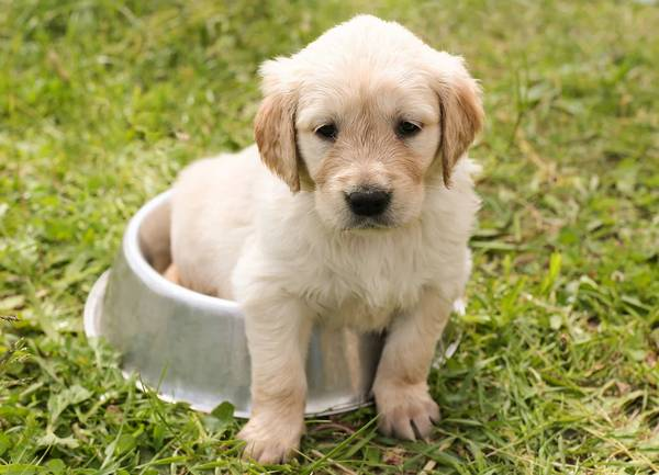 puppy in a dish - choosing a trainer CAPDT Members have all to abide by Code of Ethics and Bylaws that includes a commitment to humane training