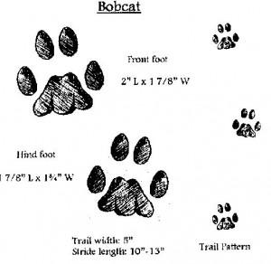 Bobcat Tracks In Snow, Bobcat, Free Engine Image For User