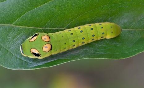 Spicebush-Caterpillar.jpg