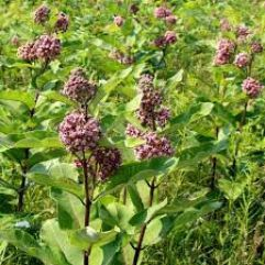 common-milkweed.jpg