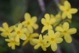 Winter jasmine blooms in January or February