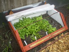 Greens in a cold frame
