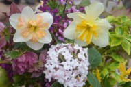 Spring is here: Narcissus 'Pink Wonder' & 'Sorbet' mingle with Helleborus 'Ballerina Ruffles', Virburnum carlesii, Kerria japonica, variegated Euonymus, and our native Cercis / Redbud Tree in April
