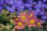 Chyrsanthemum, Aster, and Hypericum 'Brigadoon' in October