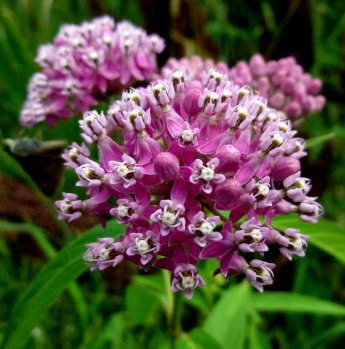Aslepias incarnata / Common Milkweed (NATIVE)
