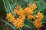 Asclepias tuberosa / Butterfly weed (NATIVE)