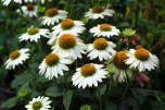 Echinacea 'PowWow White' / Coneflower (NATIVE)