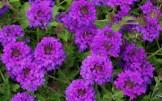 Verbena 'Homestead Purple'