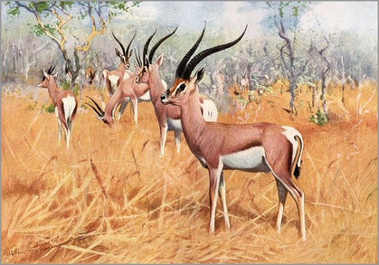 A gazela é da família do antílope - Capeia Arraiana