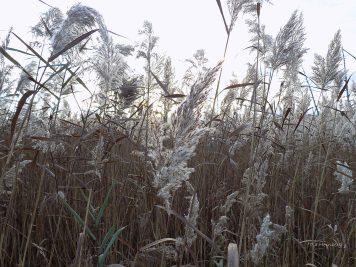fall-pond-grass