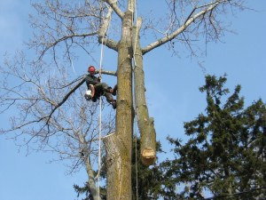 Removal of a Poplar Tree in Rockwood, ON by Capella Tree Service