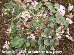 garden-arbutus