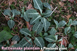 garden-rattlesnake plaintain_pinelands plant
