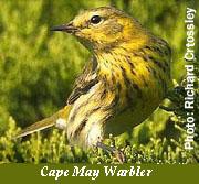 CapeMayWarbler
