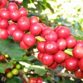 CoffeeCatucai