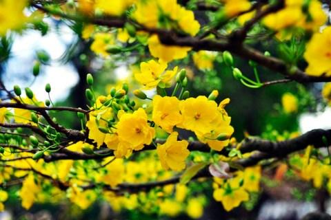 Kỹ thuật tạo nụ để hoa mai đẹp nhất ngày Tết