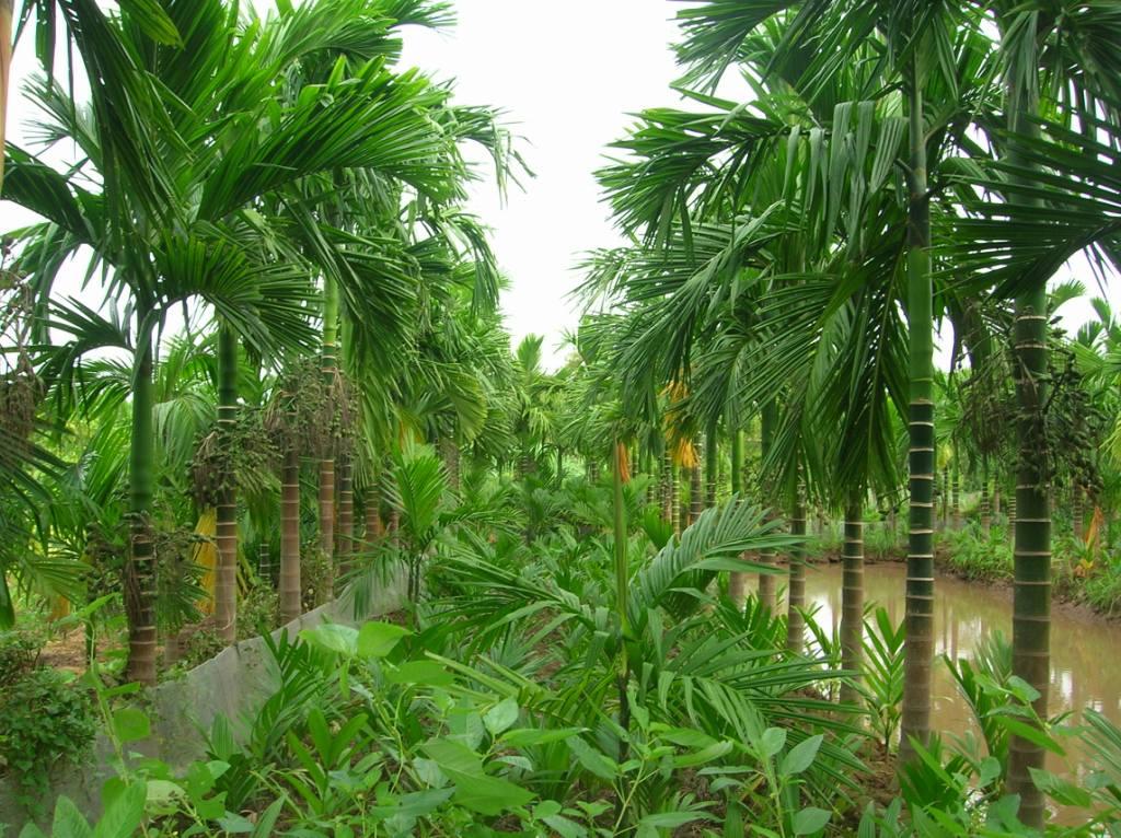 Cây Cau Ăn Quả - Cây xanh Gia huy