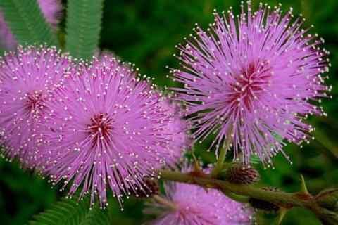 Hoa trinh nữ (mắc cỡ): 19 Hình ảnh đẹp và ý nghĩa của nó