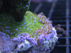 coral frag store northern va incredicle corals quantum reefs