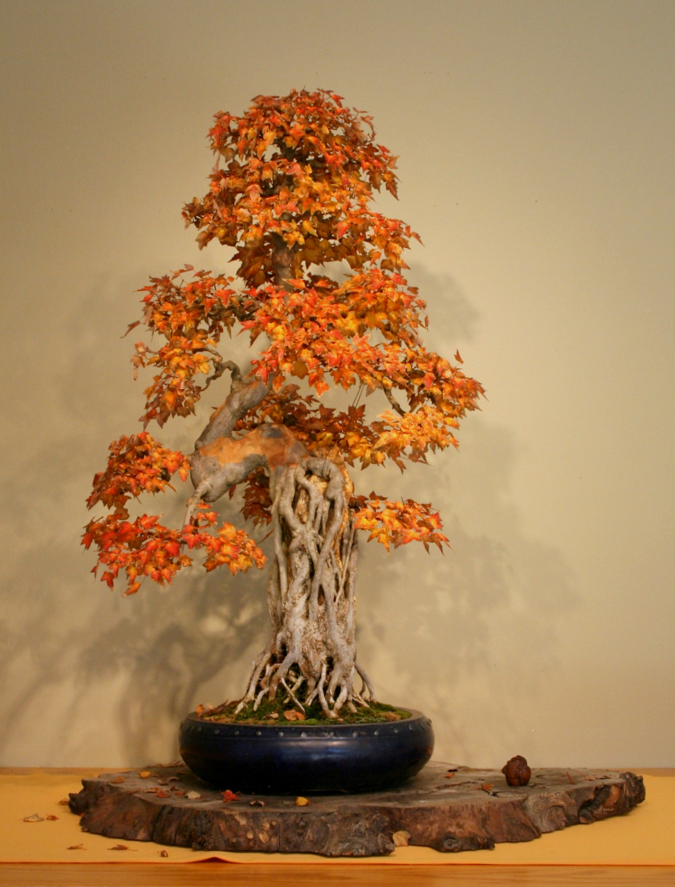 Autumn Capital Bonsai
