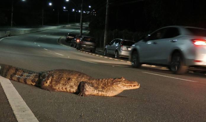 Jacaré é flagrado atravessando avenida na Serra