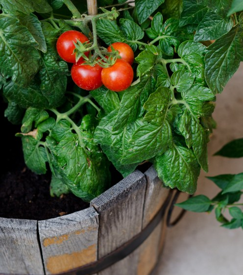 Tomaten | lacapocuoca.at